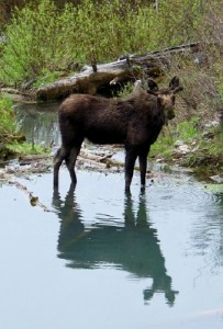 A moose just north of Lower Palisades Lake