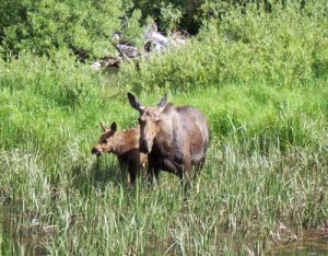 Moose hang out near the Cascade Canyon forks. Photo taken July 4, 2006.