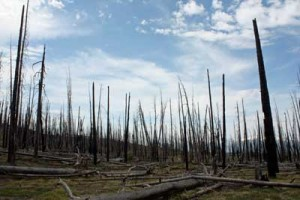 Forest that burned in 1988 en route to the summit of Huckleberry Mountain. Photographed July 4, 2008.