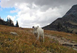 A mountain goat hangs out along the trail to Hidden Lake on September 23, 2003.