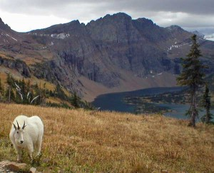 A mountain goat hangs out along the trail with Hidden Lake rising in the background. Photo taken September 23, 2003.