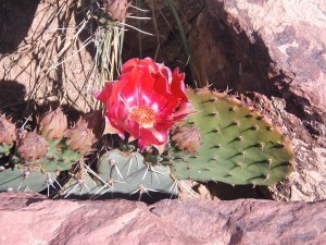 A cactus bloom.
